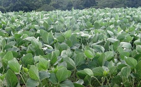 Lavouras de soja têm desenvolvimento bom em Laguna  mas atenção precisa ser ampliada para lagartas