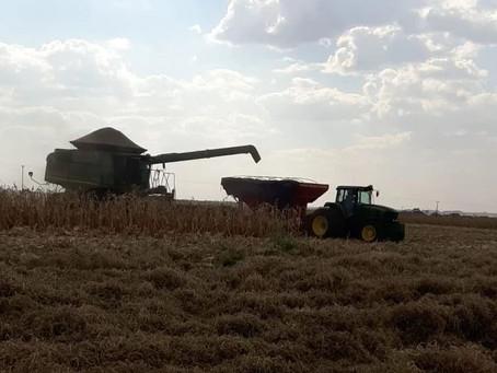 Laguna entra na reta final da colheita com perda de produtividade e baixa qualidade dos grãos