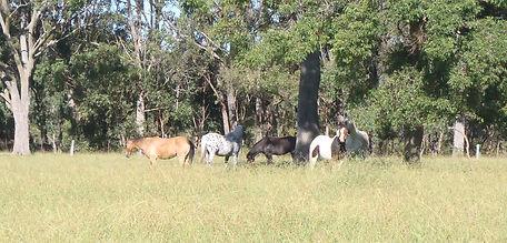 herd of spelling horses moss vale