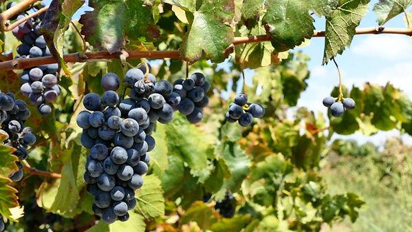 Italian Black Grapes   Tom Lelifeld