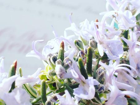 【ジェムカフェの庭に植えているローズマリーが満開です!】
