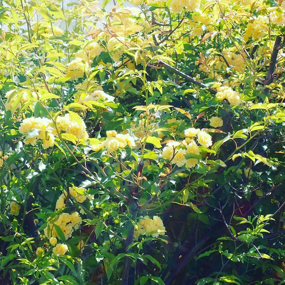 山形県山形市の宝石店 ジュエリーショップ アトリエジェムカフェ 駐車場に咲くモッコウバラ