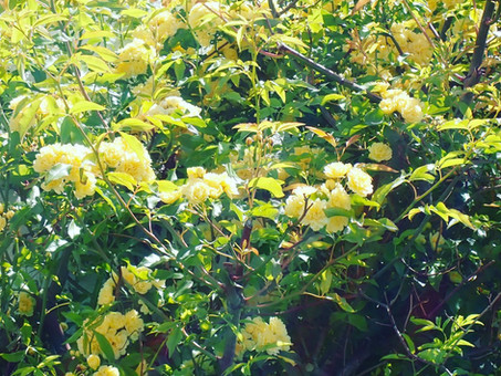 【モッコウバラが咲きました】ご来店の折にはぜひご覧下さい(*^^*)