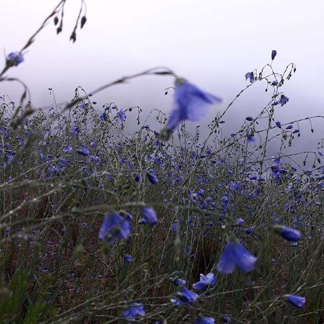 Modrý len v ranní mlze