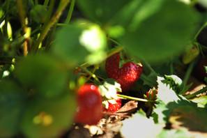 2015-05-28 Strawberries 076.jpg