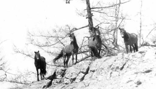 Ч/б фотография лошадей на острове Ольхон (Байкал)