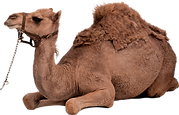 Camel from Israel