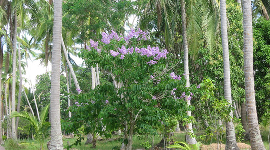 The Banaba Tree