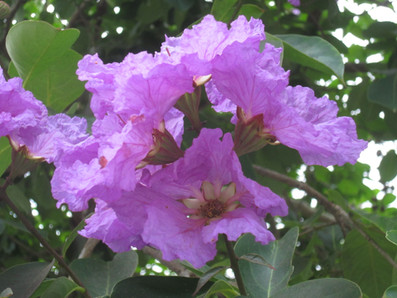 Banaba Tree flowers