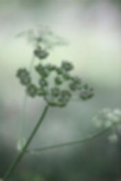 parsley-428720_1920.jpg