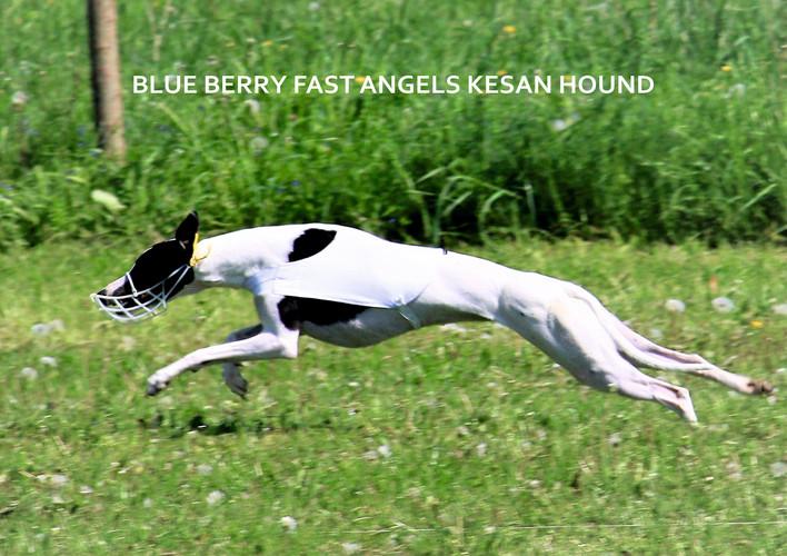 BLUE BERRY FAST ANGELS KESAN HOUND