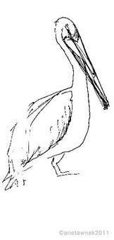Pelican ... Happy New Years Day.jpg