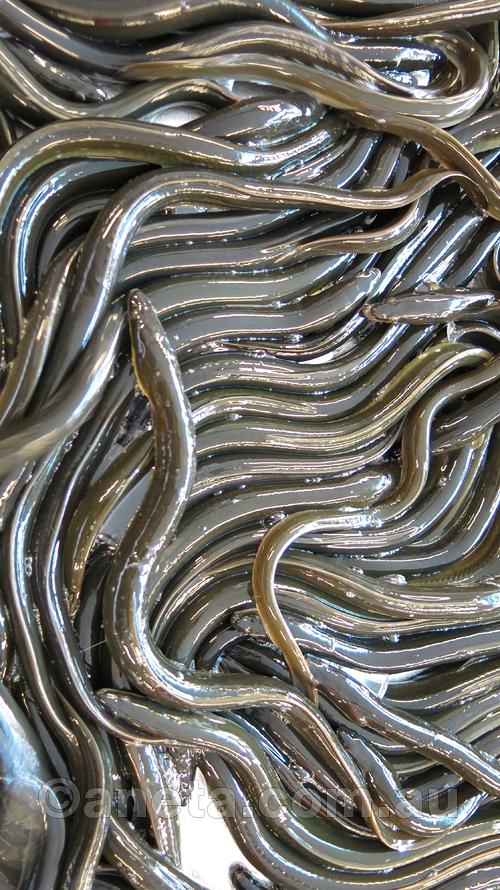 slimy suckers ... eels