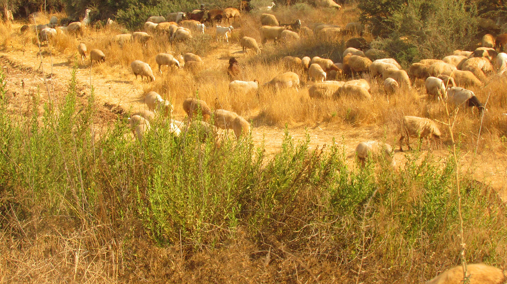 Sheep grazing in the Elah Valley
