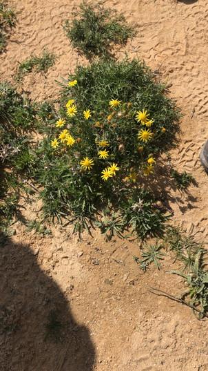Spring GroundselSenecio vernalis