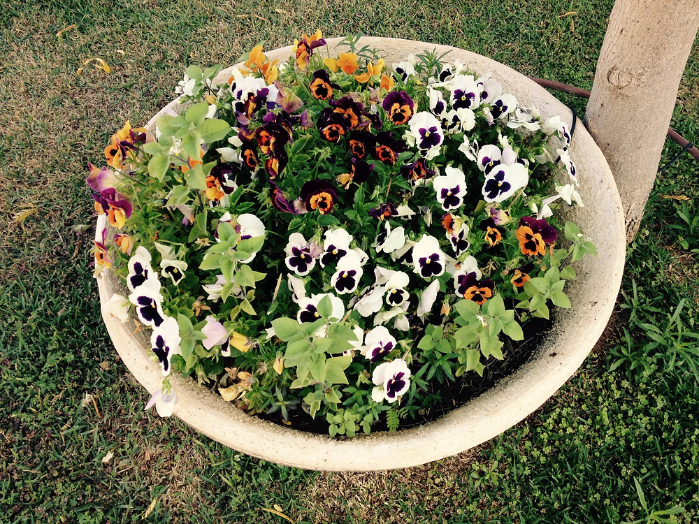 pansies in a garden in Kiriat Ono
