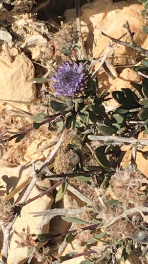 גולנית ערבית Arabian Globe-cress לחכיים Plantaginaceae