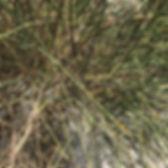 spartium junceum Spanish broom