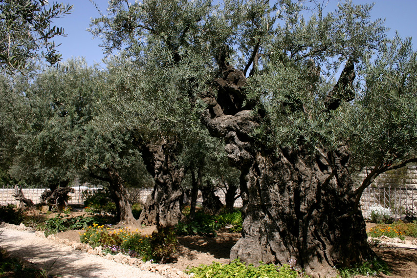 ancient olive trees in the Garden of Gethsemane
