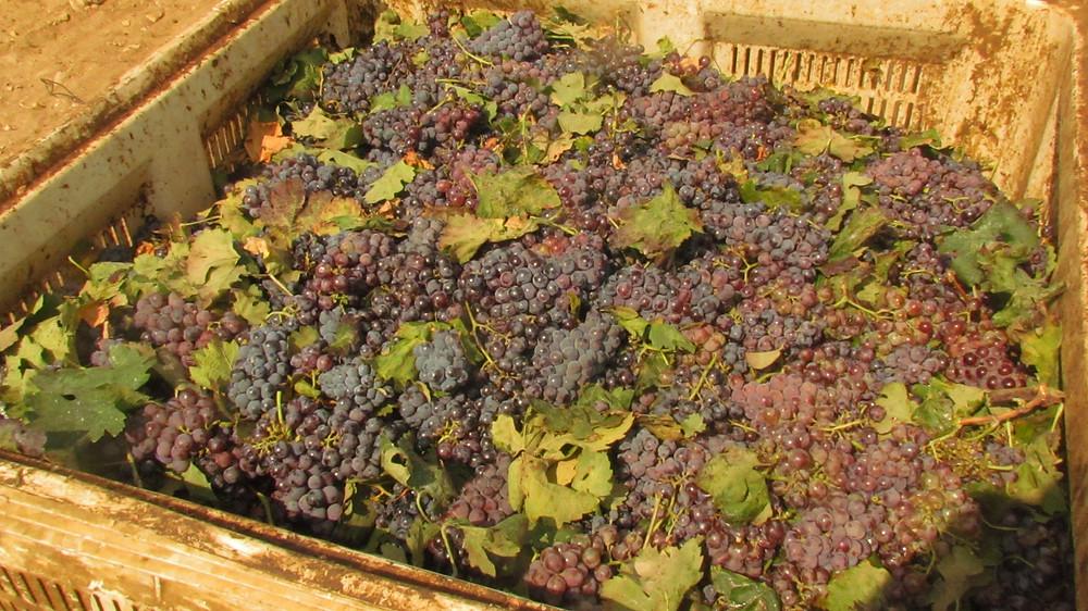 Grape harvest at moshav Yesodot