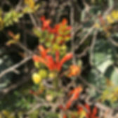 tecoma capensis