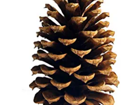 The Toddler and the Pine Cone