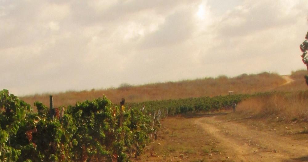 Vineyards in the plains of Yesodot