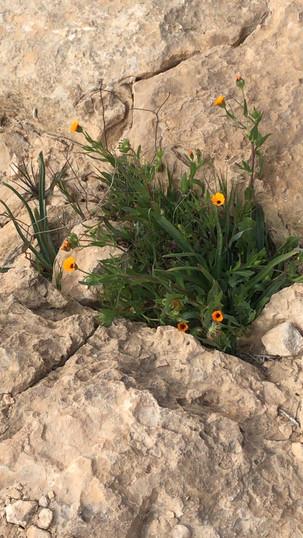 Calendula arvensis Field Marigold מורכבים Asteraceae