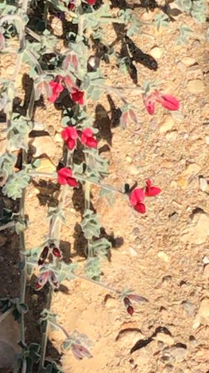 Lotus lanuginosusקטניות Fabaceae
