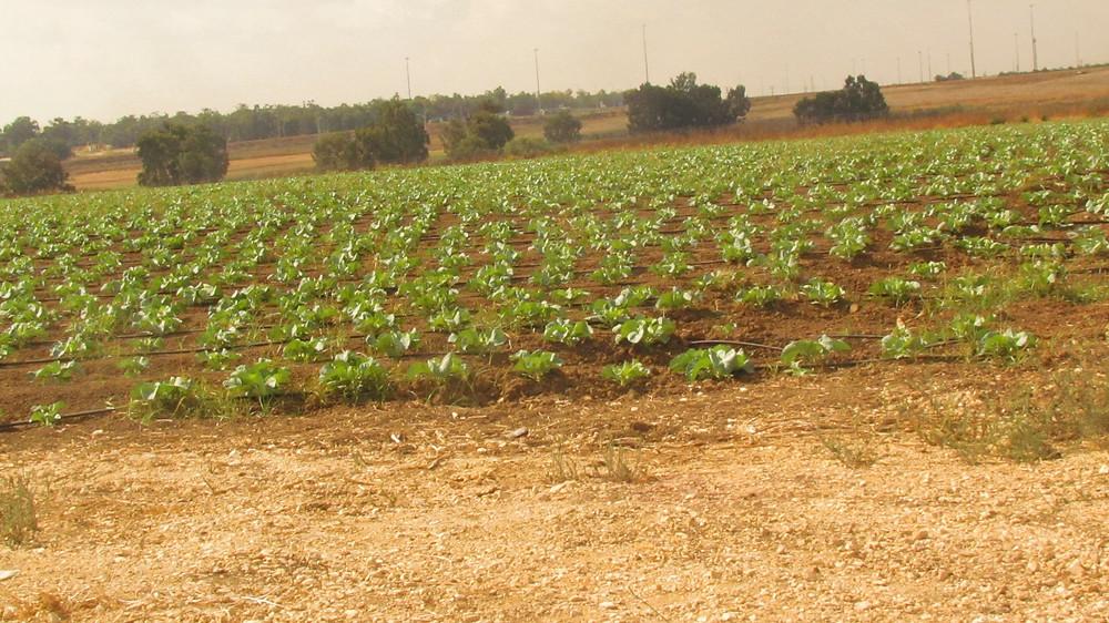 Cauliflower field Yesodot