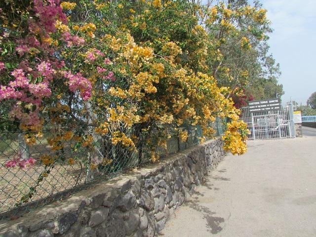 capernaumentflowers