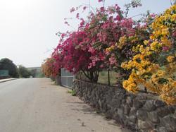 capernaumflowers