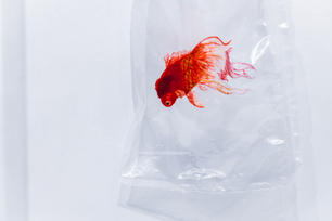 Embroidery on the plastic bag - Gold fish