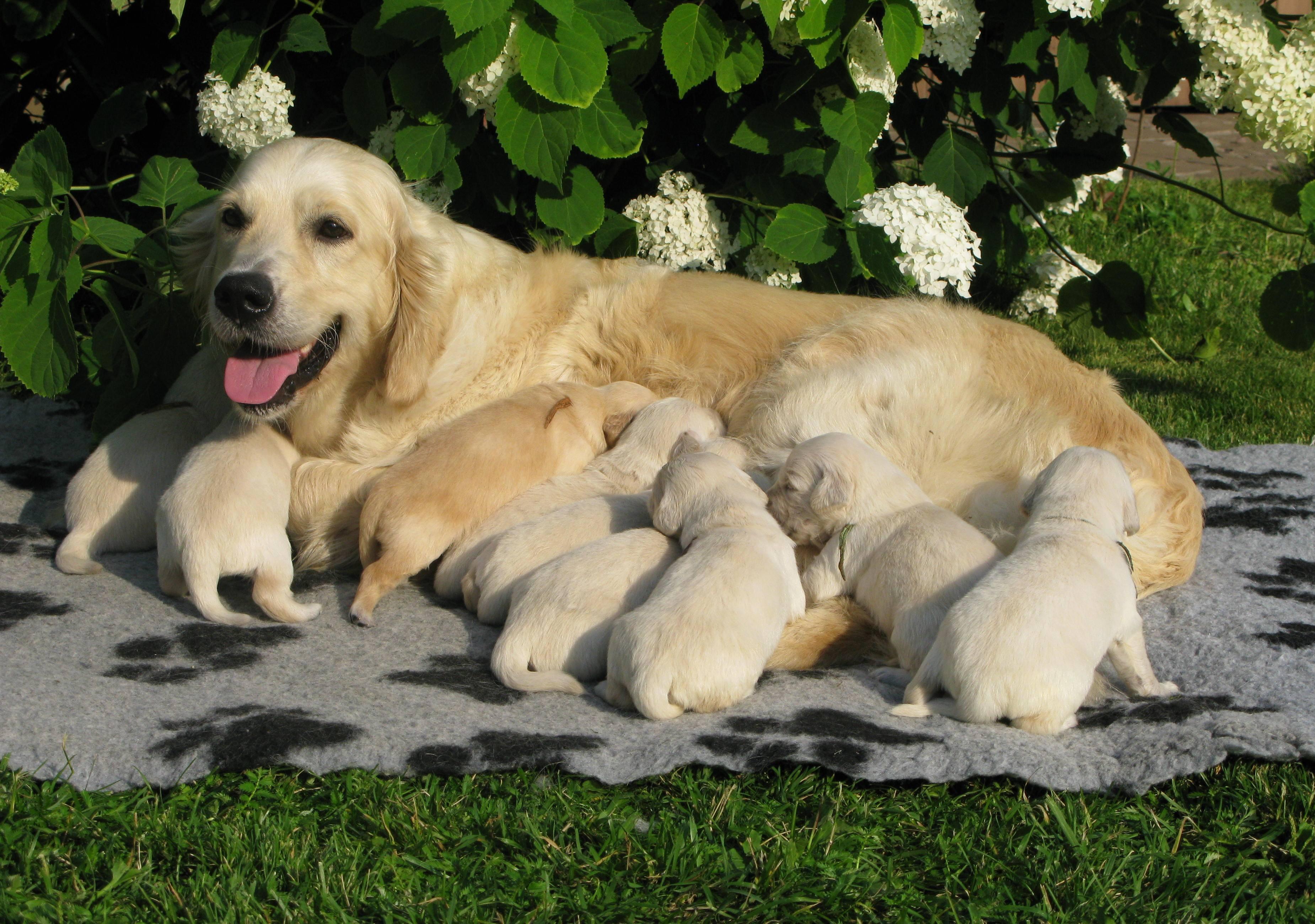 Золотистый ретривер и щенки