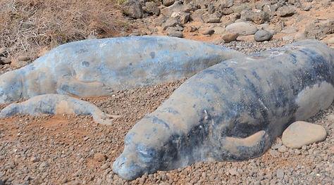 Monk Seals