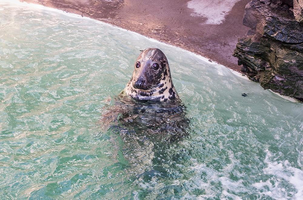 Rescue seal outside the Aquarium of Niagara