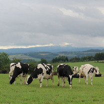 Vaches laitieres.jpg