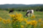 cow pic 1 (transparent).png