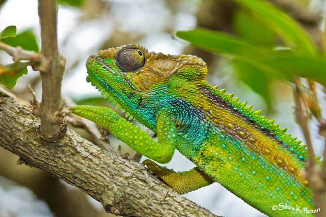 Where have all the chameleons gone?  (And how can I attract them back to my garden)