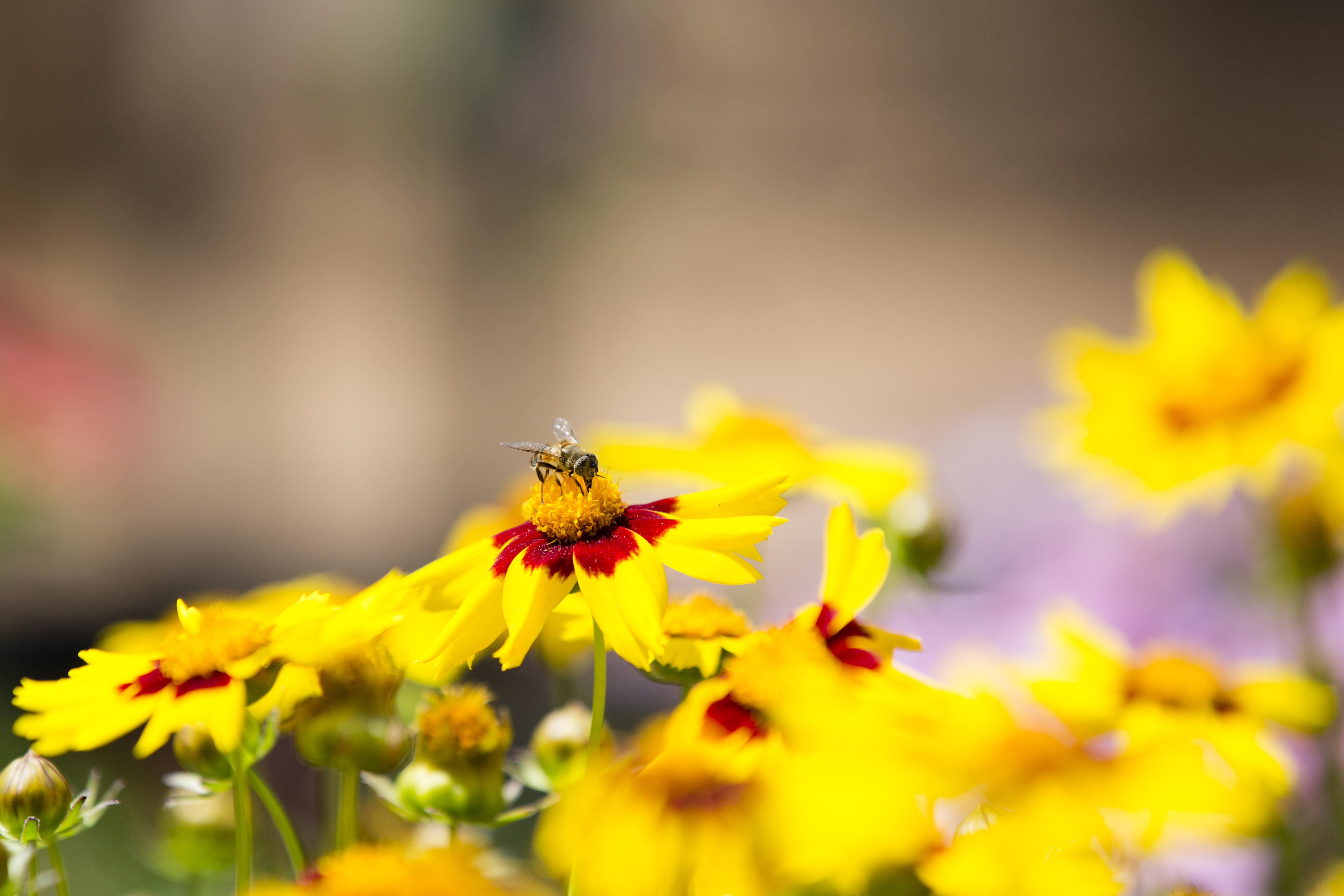 Cape Garden, flower, bees, pretty