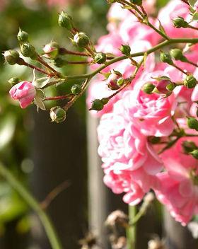 capegardenonline-nursery-roses.jpg