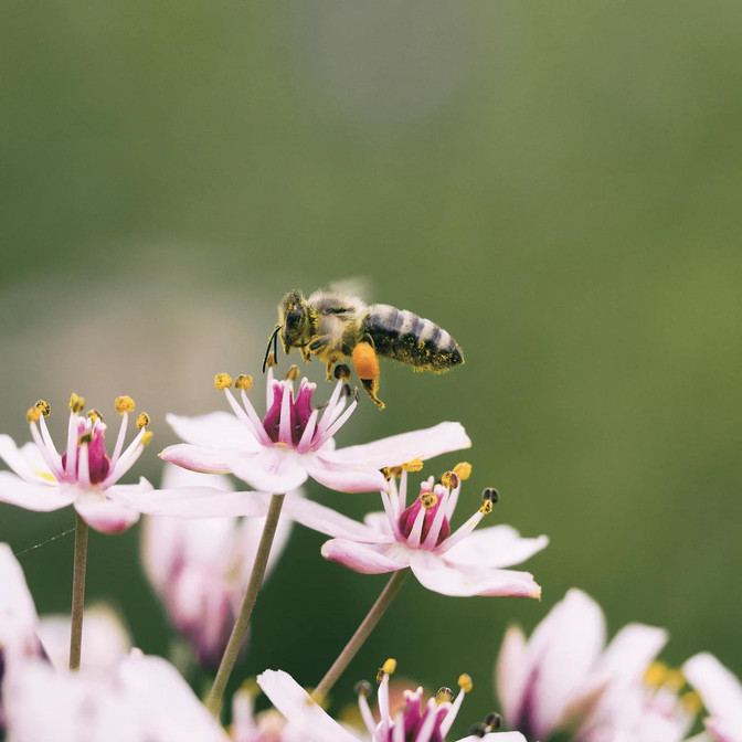 Create a bee-friendly garden with indigenous plants