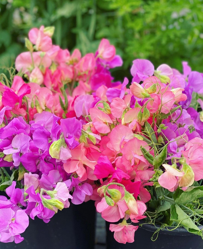 Grow Sweet peas this season!