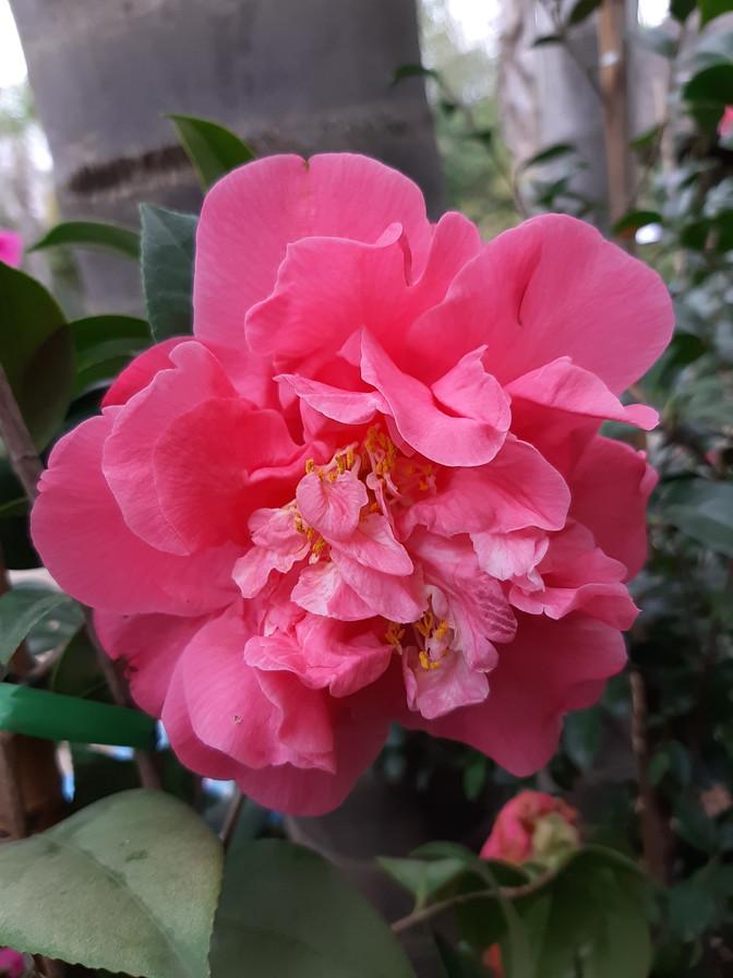 Camellia: Planting & Care