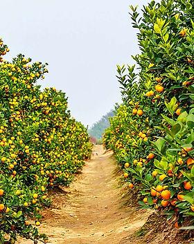 fruit-trees-capegarden-onlineshop.jpg