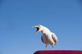 Seagull screaming and looking left perch