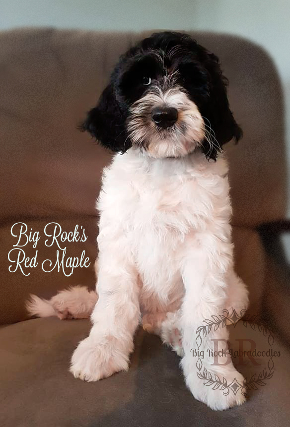 Red Maple 9 weeks c