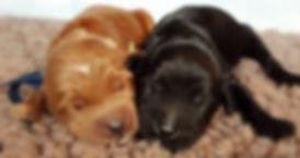 Big Rock Labradoodles   Adoption Application Form   Puppies