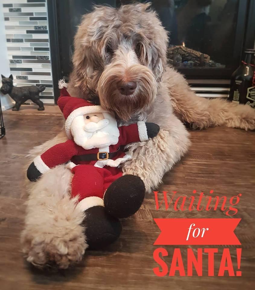 Juno waiting for santa christmas 2017