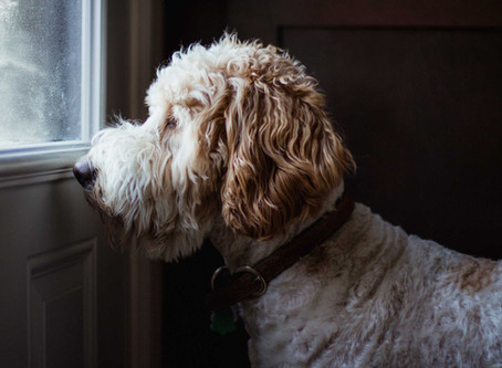 Let's Talk Canine Separation Anxiety...what is it, why is it happening and what can you do about it?